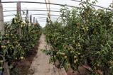 陕西大荔县冬枣规模见成效,时下正值冬枣成熟季节,欢迎企业与商家前来选购