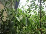 大荔冬枣--日光温室大棚