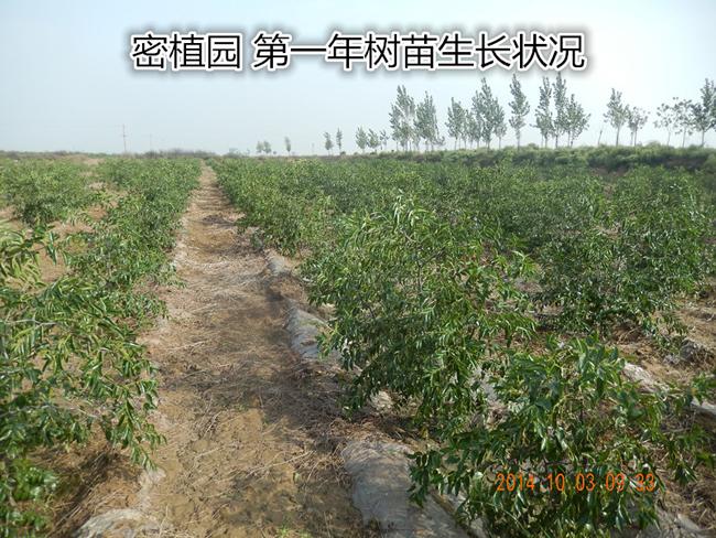 大荔冬枣种植第一年生成状况
