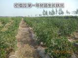 大荔冬枣种植第一年树苗种植情况,如果冬枣种植需要技术咨询请联系