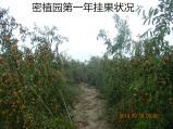密植园冬枣挂果状况