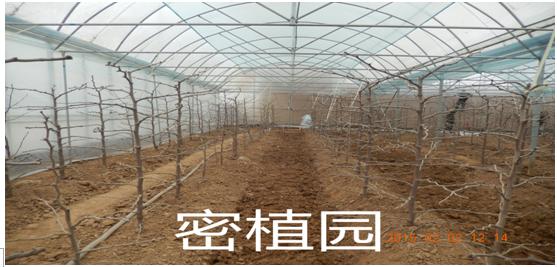 大荔冬枣密植园