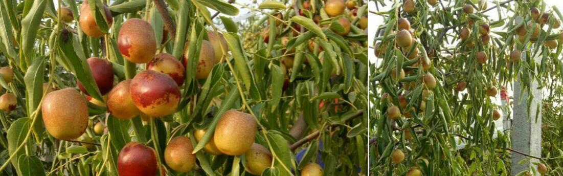 大荔冬枣的营养价值
