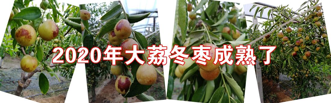 2020大荔冬枣成熟了